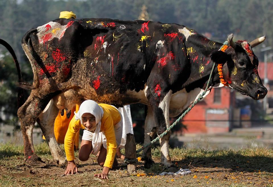 तिहारको चौथो दिन: गाई पूजा गरिँदै